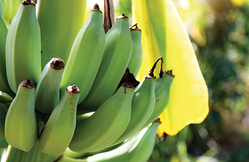 banana-blog-4